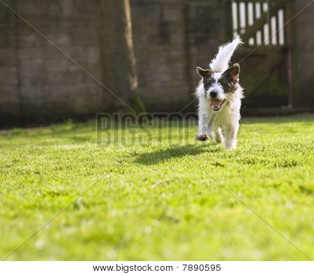 An energetic Jack Russell running towards the camera poster