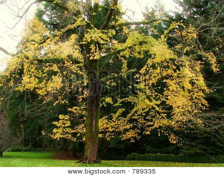 mossy maple