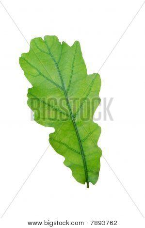 Green leaf of oak . Design Element