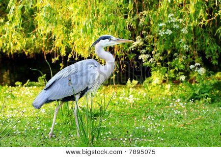 A heron standing on the grass London poster
