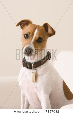 Terrier Sitting on a Chair