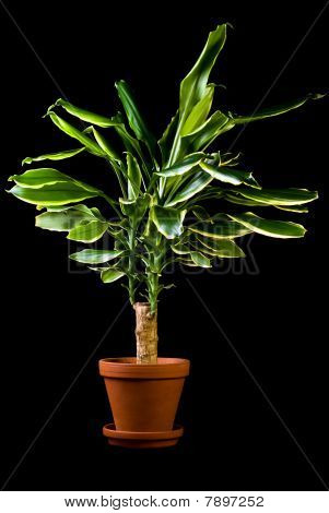 Flower In Pot, Dracaena