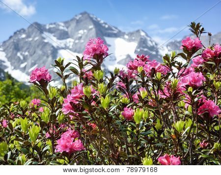Alpine roses in the high mountains