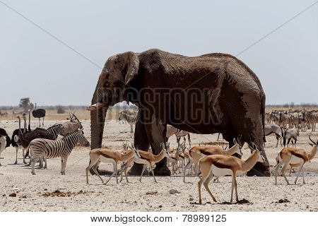 Animal Trafic On Muddy Waterhole In Etosha