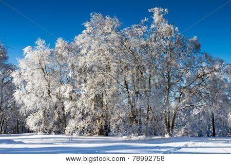 Winter Wonderland - Broadleaf Trees Covered In Snow