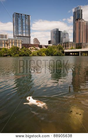 American Bulldog Swims In Colorado River Downtown Austin Texas