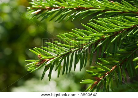 needles of fir-tree