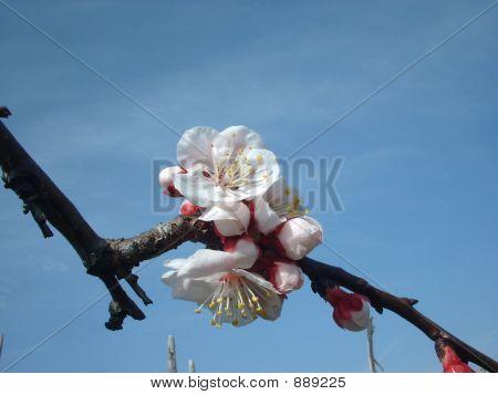 Flores de albaricoques