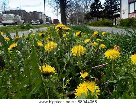 Dandelion Flower In City