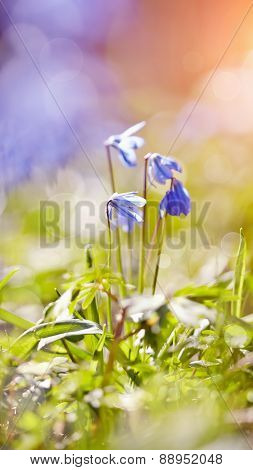 Spring Blue Snowdrop - A Scilla Siberica