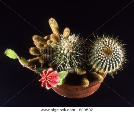 Potted Cacti On Black Background
