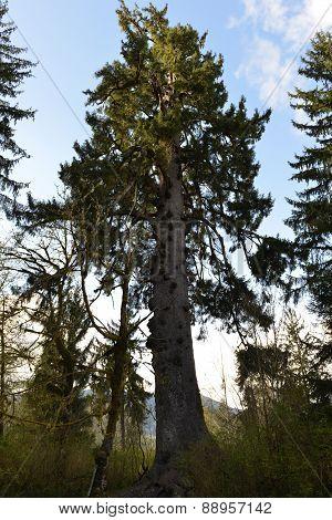 Worlds Largest Spruce Tree, Lake Quinault, Washington