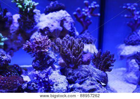 Colorful Saltwater coral Aquarium under blue light poster