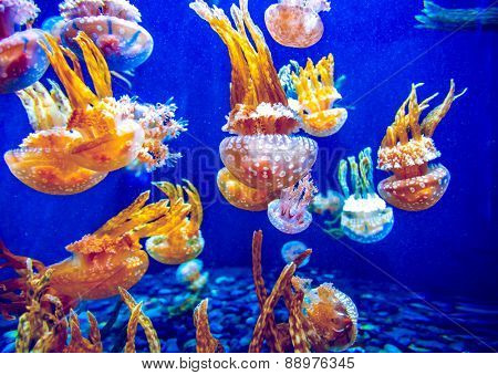 Orange jellyfish (Chrysaora fuscescens or Pacific sea nettle) in blue ocean water