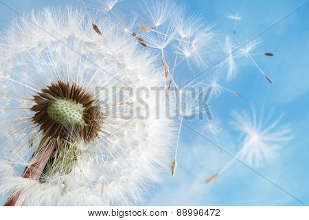 Dandelion seeds in the morning sunlight blowing away in the wind across a clear blue sky poster