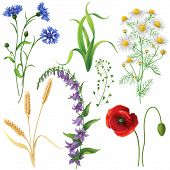 Wildflowers set. Poppy cornflowers chamomile bluebell blindweed wheat ears and grass isolated on white. poster