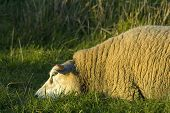 sheep relaxing in the grass during sunset poster