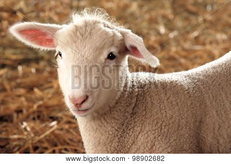 Cute white lamb with pink ears and nose in straw
