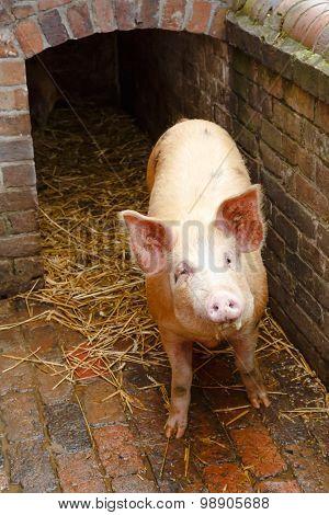 Pig Outside Pigpen