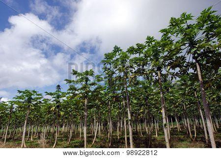 Papaya trees in Papaya orchard in Rarotonga Cook Islands.