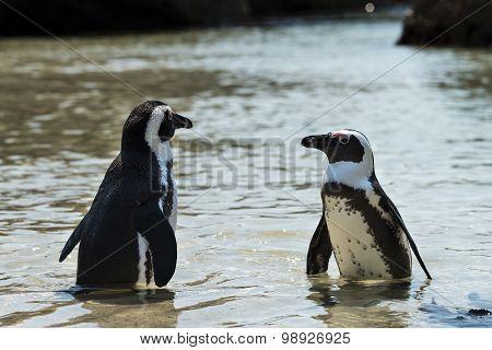 Jackass Penguins (spheniscus Demersus)