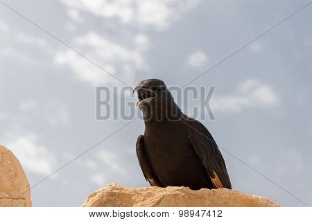 Watchful Crow Cawing  In The Desert