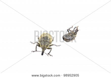 Black Bugs On A White Background