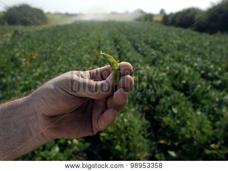 GMO soyfield