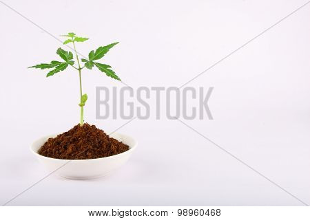 Young neem tree in white bowl.