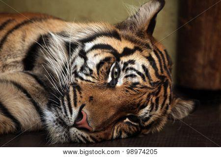 Sumatran tiger (Panthera tigris sumatrae). Wild life animal.
