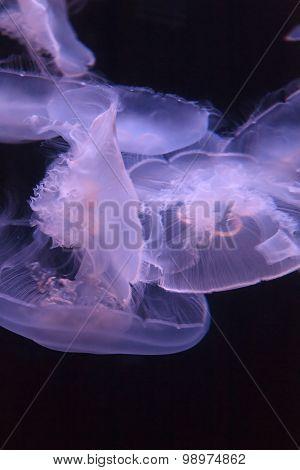 Moon jellyfish, Aurelia aurita