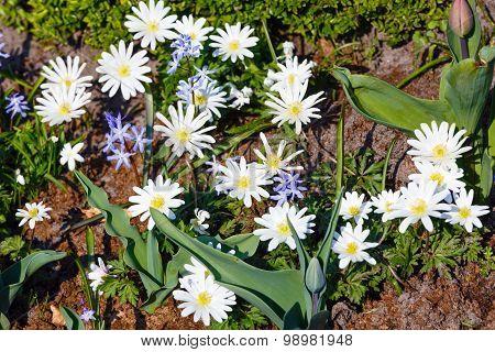 Anemone Blanda  White Splendour Flowers