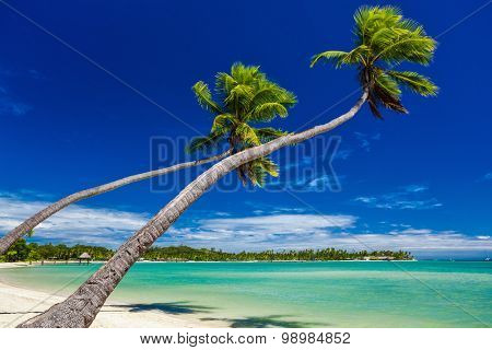 Palm trees on the beach hanging over lagoon on Fiji Islands