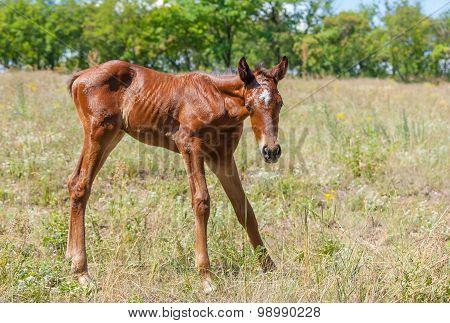 Newborn foal doing first steps