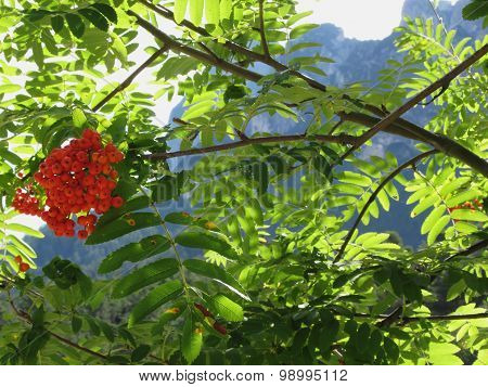 Mountain Ash Sorbus Bush With Red Berries And Dolomites Background. Fie Allo Scilliar, South Tyrol,