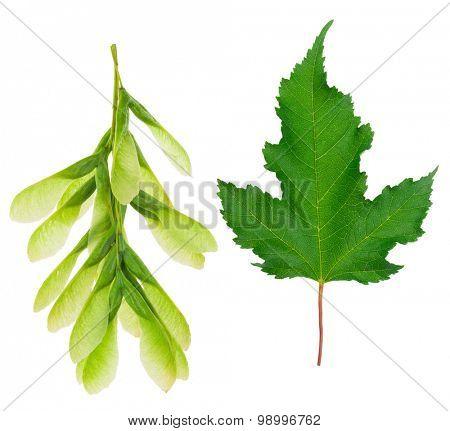 Maple leaf and seeds