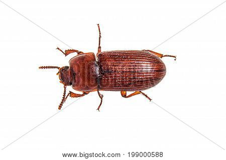 Red brown rice meal beetle on white background