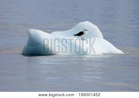 Kelp Gull, larus dominicanus, floating on ice floe, Antarctic ocean Antarctica