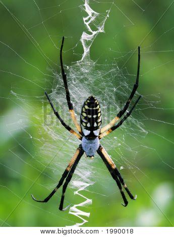 Female Yellow Garden Spider