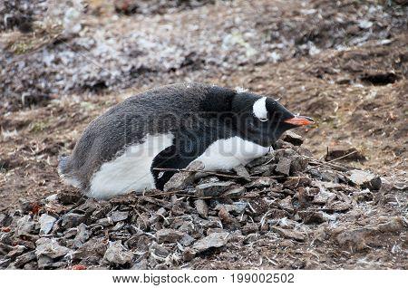 Gentoo penguin, Pygoscelis Papua, Antarctic Peninsula Antarctica