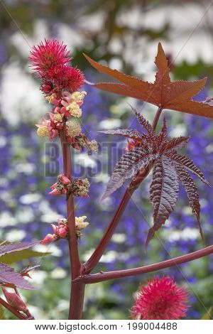 Castor oil plant Flower with Seeds close up.
