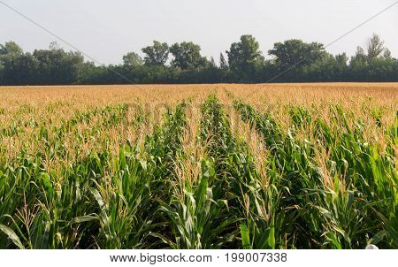 Corn field. Field of corn in sunny morning