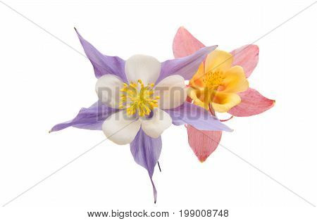 aquilegia flower blossom isolated on white background