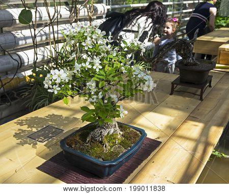 Midget Crabapple - Bonsai In The Style Of