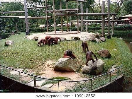 SINGAPORE - CIRCA 1990: A group of orangutans in an outdoor exhibit at the Singapore Zoo.