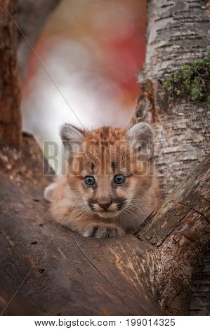 Female Cougar Kitten (Puma concolor) Alert in Tree - captive animal