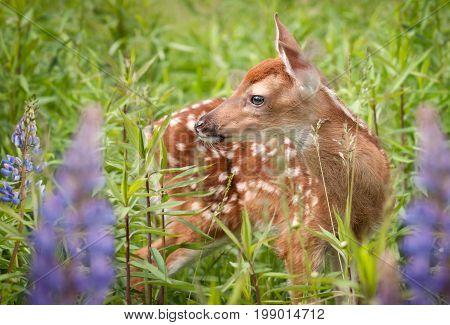 White-Tailed Deer Fawn (Odocoileus virginianus) in Lupin - captive animal