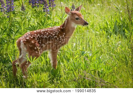 White-Tailed Deer Fawn (Odocoileus virginianus) Stands to Right - captive animal