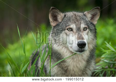 Grey Wolf (Canis lupus) Looks Out Head Right - captive animal