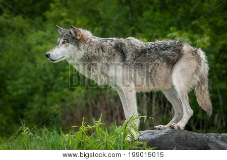 Grey Wolf (Canis lupus) On Rock to Left - captive animal